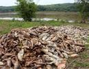 Tìm ra nguyên nhân khiến hàng chục tấn cá chết trắng hồ thủy lợi