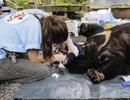 Hai cá thể gấu nặng hơn 150kg bị nuôi nhốt 15 năm được cứu hộ