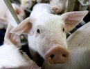 Các nhà khoa học cho bộ não lợn sống ngoài cơ thể 36 giờ