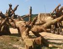 """Kiểm lâm Đắk Lắk xác định 2 cây """"khủng"""" có nguồn gốc hợp lệ"""