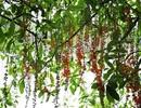 Tháng Tư, lung linh mùa lộc vừng hồ Hoàn Kiếm nở hoa