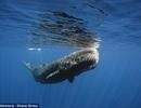 Mổ bụng cá voi 6 tấn dạt bờ, phát hiện nguyên nhân chết đáng sợ