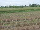 Trung Quốc phát hiện gene giúp giảm tác động nhiễm mặn ở cây lúa