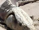 Xác quái vật từng sống thời tiền sử trôi dạt bờ biển Mỹ