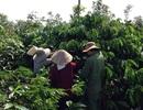 Yêu cầu khởi tố vụ án tại Chi nhánh Tổng công ty cà phê Việt Nam