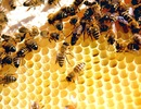 Khủng hoảng ong: Toà án EU ủng hộ lệnh cấm thuốc trừ sâu
