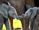 Những bức ảnh ngộ nghĩnh về hai chú voi con