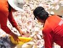 Vụ hàng nghìn tấn cá chết: Do mưa cuốn chất độc từ đầu nguồn về?