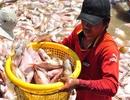 Truy tìm nguyên nhân hàng nghìn tấn cá bè chết đồng loạt
