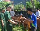 Hỗ trợ 50 con bò giống cho đồng bào  nơi biên giới