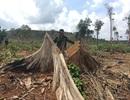 28ha rừng bị phá trắng dù cách chốt bảo vệ rừng… 15m!