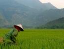"""Các nhà khoa học dự đoán về một """"cuộc khủng hoảng gạo"""" ở châu Á"""