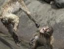 Khỉ đánh nhau như võ sĩ khiến nhiếp ảnh gia kinh ngạc