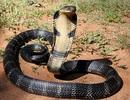 Ấn Độ: Mẹ bị rắn cắn vẫn cho con bú và kết cục thương tâm