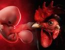 Một phòng thí nghiệm ở Mỹ tạo ra phôi thai gà lai người