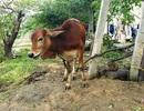 Sáng tỏ vụ nhận bò giống, chính quyền phân phát cho người thân cán bộ giết thịt!
