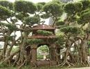 """Chiêm ngưỡng kiệt tác sanh cổ có bộ rễ """"khủng"""" được trả giá 1 tỷ đồng"""