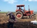 Phá mía trồng sắn – bài toán khó và nông dân là người chịu thiệt