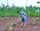 Thương lái vào tận vườn mua rễ hồ tiêu xuất bán sang Trung Quốc