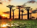 Các cây bao báp nghìn năm tuổi ở Châu Phi đột ngột chết hàng loạt