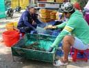 Cảnh báo nguy cơ tái đại dịch tôm hùm ở Phú Yên