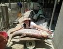 Cá măng sông Đà 35 kg hiếm có, mối quen đại gia mới có hàng