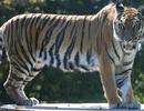 Những con hổ được cứu khỏi cảnh bị nhốt trong chuồng xiếc