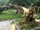 Hà Nội: Cây phượng cổ thụ đổ gục bên bờ hồ Trúc Bạch