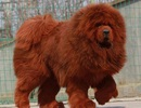 Hà Nội: Chó ngao Tây Tạng 40kg cắn chết bé gái 8 tháng tuổi