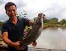 Kiếm tiền tỷ mỗi năm nhờ nuôi cá lăng giống
