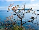 Cù Lao Chàm rực rỡ sắc hoa ngô đồng vừa chớm nụ