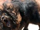 Trường hợp nào người nuôi chó phải chịu trách nhiệm hình sự?