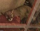 Trở về nhà và bất ngờ phát hiện... sư tử đang ngủ trên ghế sofa