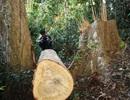 Vụ 23 cây dổi lâu năm bị đốn hạ: Không nghĩ lâm tặc phá rừng ở khu vực hiểm trở?!