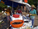 Kiếm hàng chục triệu đồng nhờ nuôi vẹm làm thức ăn cho tôm hùm