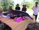 Cá voi nặng 200 kg cố dạt vào bờ biển rồi tử vong