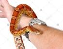 Đang đi dạo bất ngờ bị rắn rơi xuống người rồi quấn vào tay