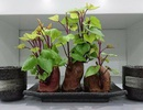 """Dân mạng phát """"sốt"""" với trào lưu trồng """"khoai lang bonsai"""" trang trí nhà"""