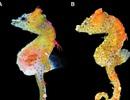 Mới phát hiện loài cá ngựa chỉ nhỏ bằng hạt gạo mang họa tiết cánh hoa
