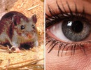 Thành công  khôi phục thị lực ở chuột nhờ liệu pháp gien