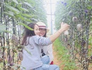 """Phát """"sốt"""" với vườn dưa pepino tím sai trĩu quả ở Đà Lạt"""