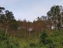 Tạm giữ 2 thanh niên đầu độc rừng thông bằng thuốc diệt cỏ