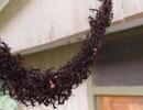 """Kinh ngạc: Hàng triệu con kiến tự """"xây cầu"""" mở đường đến tấn công tổ ong"""