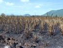 """Hàng trăm hecta mía chìm trong """"biển lửa"""", nông dân mất trắng hàng tỷ đồng"""