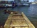 Không có hiện tượng cá chết hàng loạt ở hồ Tây!