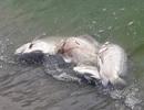 Cá chết trắng hồ điều tiết Phước Lý