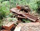 Khởi tố, bắt tạm giam 2 cán bộ kiểm lâm vì để mất rừng
