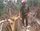 Khám nghiệm hiện trường vụ tận thu gỗ để phá rừng phòng hộ
