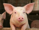 Nội tạng lợn có an toàn để cấy ghép cho con người không?
