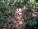 Khởi tố đối tượng triệt hạ hơn 90 khối gỗ rừng